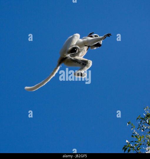 Dancing Sifaka in flight on blue sky background. Madagascar. An excellent illustration. - Stock Image