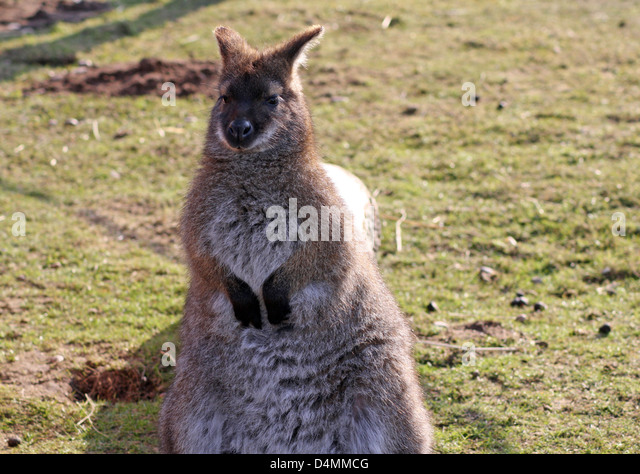 how to tell wallaby from kangaroo