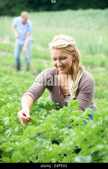 Couple Working In Field On Organic Farm - Stock Image