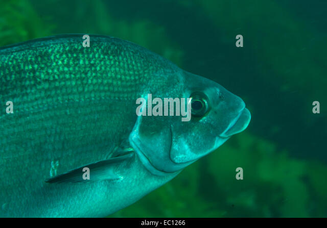 Fish lips stock photos fish lips stock images alamy for What are cold water fish