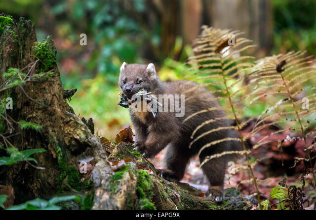 European pine marten (Martes martes) with caught songbird prey in mouth in forest - Stock Image