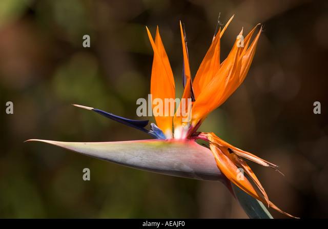 Strelitzia Flower - Stock Image