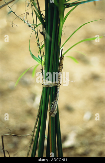 Bundle of stems - Stock Image