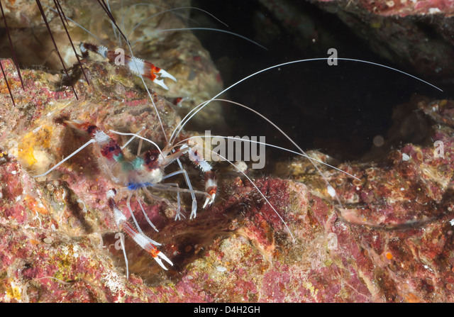 Banded boxer shrimp (Stenopus tenuirostris), Southern Thailand ...