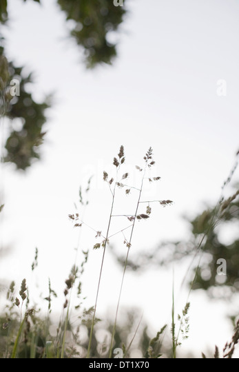 Delicate grasses viewed against the sky - Stock Image