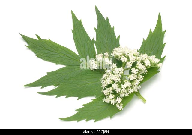 Medicinal plant valerian valeriana valeriana comune valeriana officinalis - Stock Image