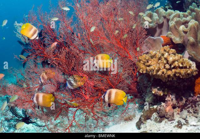 Klein's butterflyfish feeding on gorgonian polyps.  Raja Ampat, West Papua, Indonesia. - Stock Image