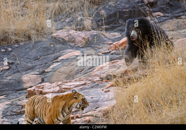Mother bear with two cubs on her back fights a wild tigers in Ranthambhore national park, India - Stock Image