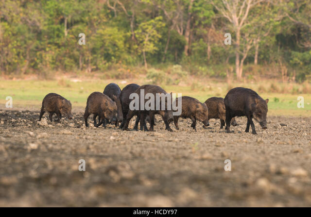 A family group of White-lipped Peccaries foraging on the recently dried up edge of a saline lake in Southern Pantanal - Stock Image