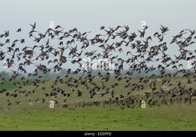 Flock of starlings taking off, Leer, Lower Saxony, Germany - Stock Image
