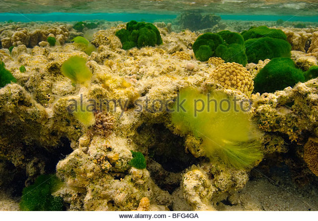 Bleached coral head, Great Barrier Reef, Australia - Stock Image