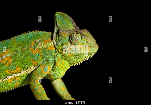 Female veiled or Yemen chameleon Chamaeleo catytratus eye movement - Stock Image