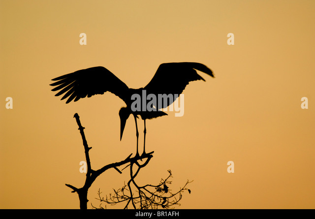 Marabou stork (Leptoptilos crumeniferus), Tarangire National Park, Tanzania - Stock-Bilder