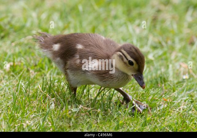 Mallard duckling Anas Platyrhynchos foraging for food on a grass bank - Stock Image