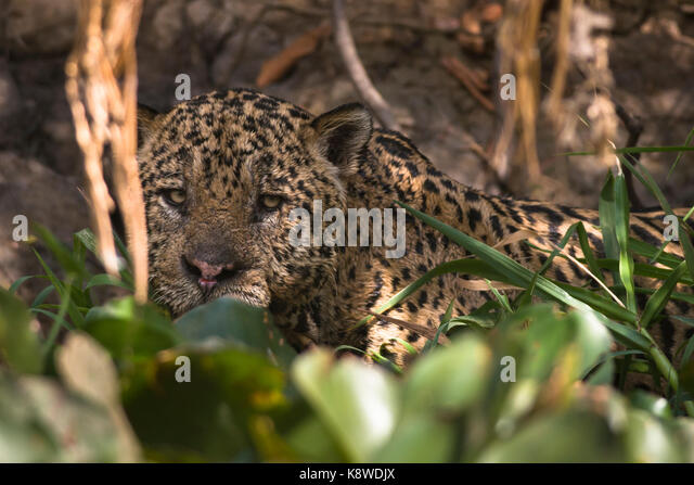 A large male Jaguar from North Pantanal, Brazil - Stock Image