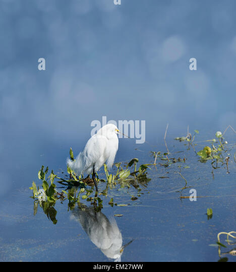 Snowy Egret (Egretta thula) In Florida Wetlands - Stock Image