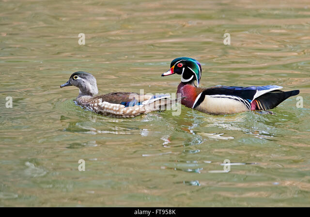 Pair of Wood Ducks Male and Female - Stock Image