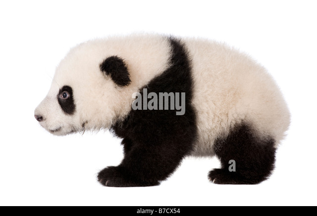 Giant Panda 4 months Ailuropoda melanoleuca in front of a white background - Stock Image