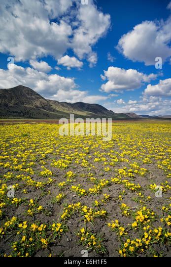 Yellow Tansy-leaved Evening Primrose and Steens Mountain. Oregon - Stock Image