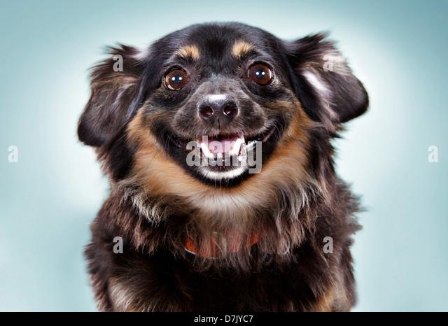 dachshund chihuahua mix breed dog gazing to camera. - Stock Image