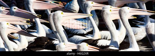 Pelicans at feeding time at The Entrance, New South Wales - NSW - Australia - Stock Image