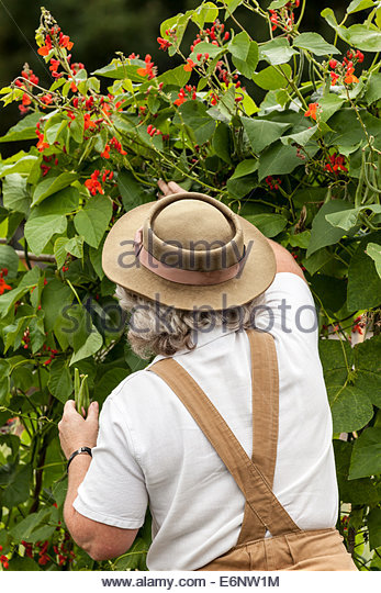 1940s re-enactor in Women's Land Army clothing picking runner beans - Stock Image