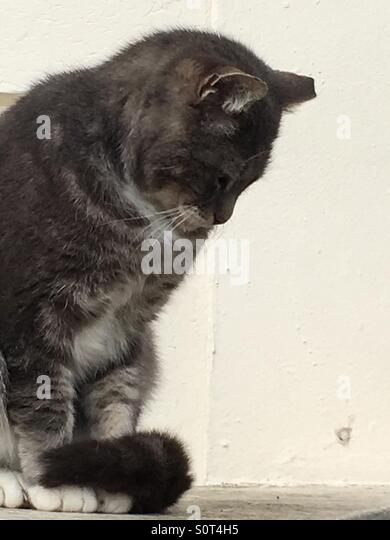 Nostalgic grey cat - Stock Image