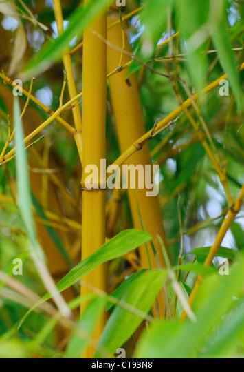 Bambusa, Bamboo - Stock Image