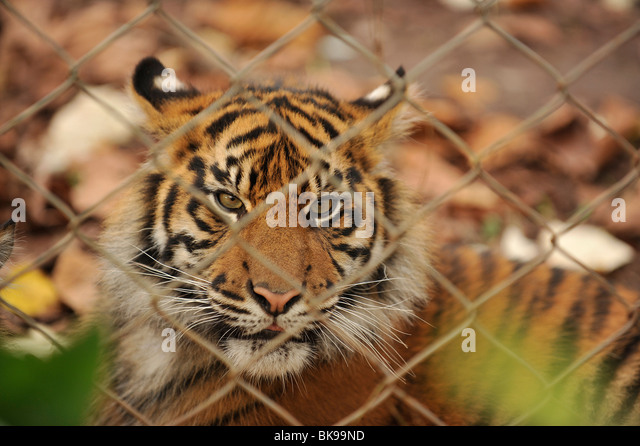 tiger in zoo - Stock Image