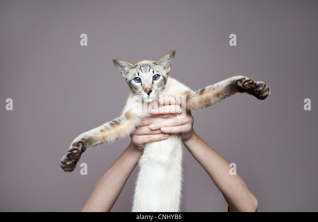 Person holding up siamese cat - Stock Image