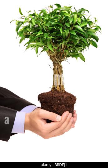 A hand holding a plant Ficus Benjamin (ficus benjamina natasja) - Stock Image