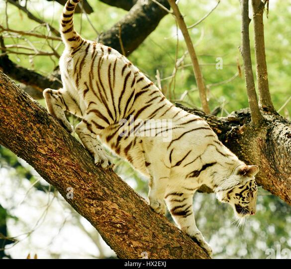 A white tiger climbing down a tree. - Stock Image