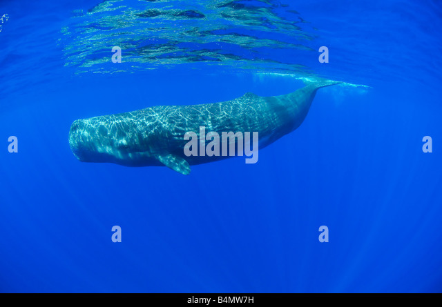 sperm whale underwater, Physeter catodon, Physeter macrocephalus, Azores - Stock Image