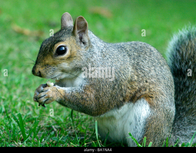 A grey squirrel holding a nut in his paws - Stock Image
