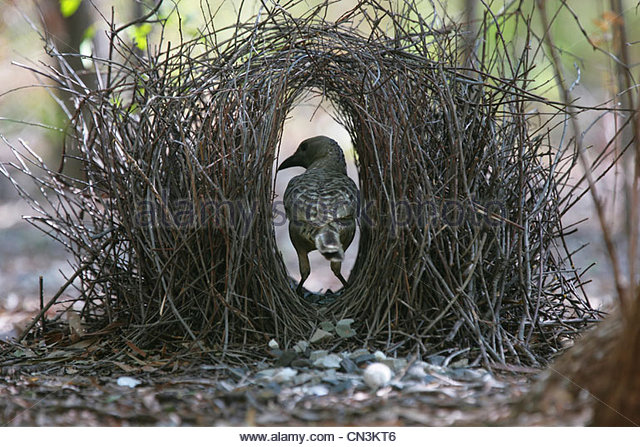A great bowerbird works on his bower to attract a female to it, Kimberley region, Western Australia. - Stock Image