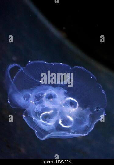 Freshwater Jellyfish Vancouver Island