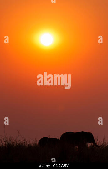 Silhouette of a herd of elephants at sunset in the Chobe National Park in Botswana; - Stock-Bilder