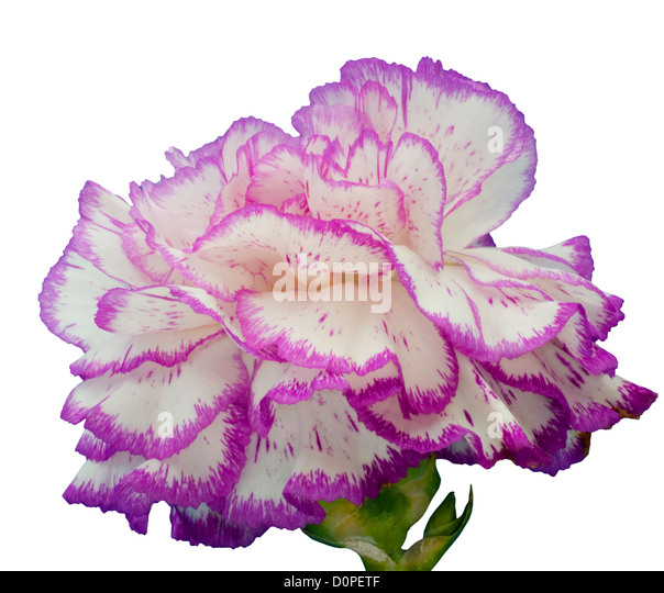 carnation buddhist singles Find others who have the same beliefs as you at buddhist dating site sign up now and meet a variety of beautiful singles from all over who practice buddhism like you, buddhist dating site.