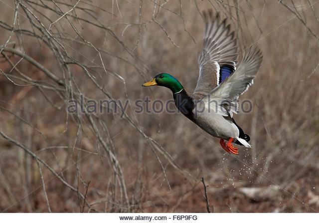 Male Mallard  Duck - Stock Image