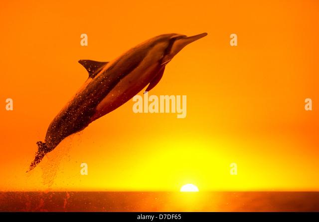 Spinner Dolphin, Stenella longirostris, Kona Coast, Big Island, Hawaii, USA - Stock-Bilder