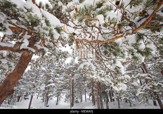 Snow-clad pine branches are forming an intricate pattern. - Stock Image