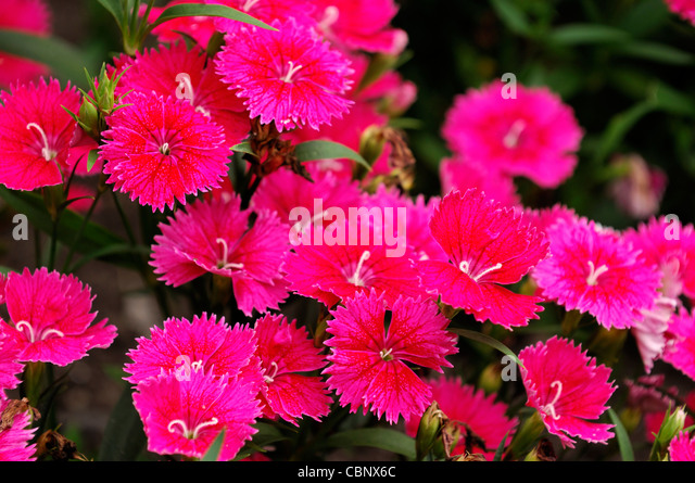Dianthus Ideal Select Raspberry Chinensis x Barbatus hardy annual bright pink carnation flowers blooms blossoms - Stock Image