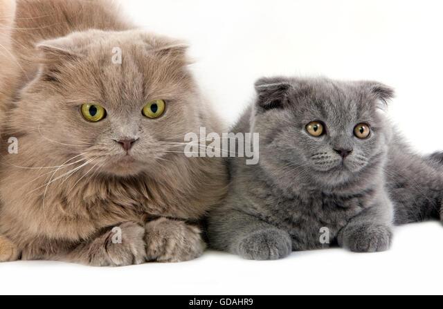 Highland Fold Kittens ...