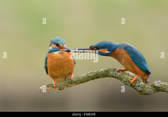 Courtship behavior of a pair of kingfishers. The male offers a fish to his female. - Stock Image