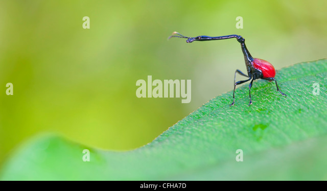 Giraffe necked weevil male on leaf of Dichaetanthera cordifolia, on which it feeds. Tropical rainforest, Mantadia - Stock Image