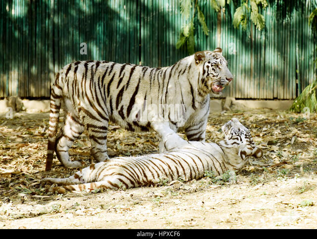 Two white tigers, having a fight. - Stock Image