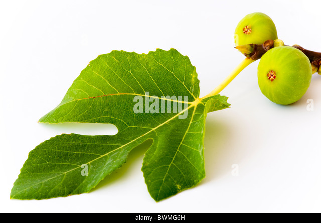 Two growing figs attached to a fig leaf showing the leaf feeding the fruits by photosynthesis. on white. - Stock Image