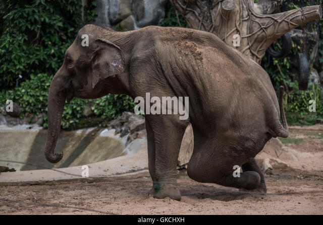 Old elephant stuck in a zoo of Ho Chi Minh, Vietnam - Stock Image