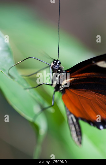 Heliconius hecale . Tiger Longwing butterfly - Stock-Bilder
