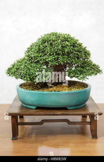Bonsai tree, azalea - Stock Image